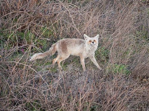 Cappadocian-Fox