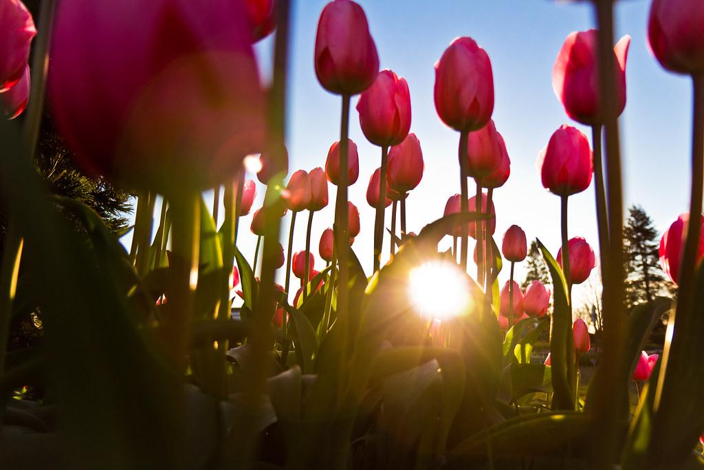 Tulip fantasy