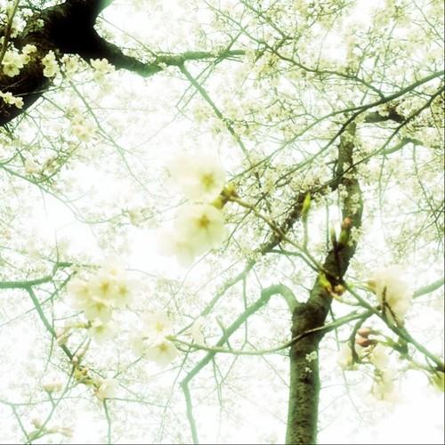 桜の精っているのかな? 祝700投稿目です。あと半日、がんばりまっしょい! #afternoon #sakura