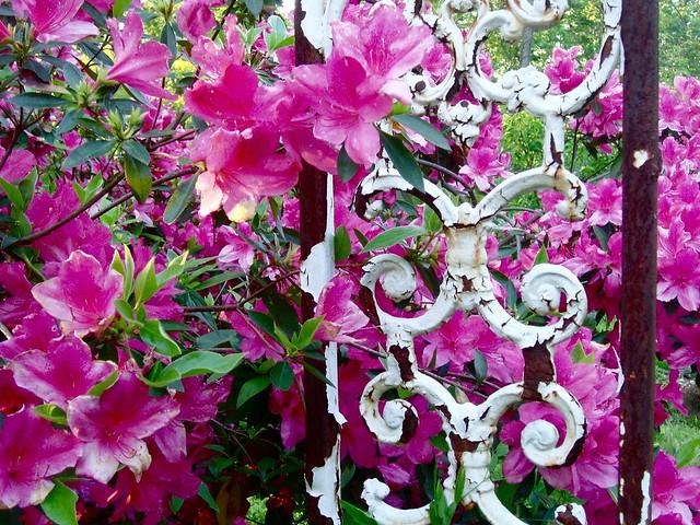 Open Lotus Garden Rhododendron