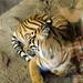 Tiger Ueno Zoo 恩賜上野動物園, Tokyo Japan 東京 日本