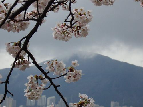 Kirschblüte in Yeosan