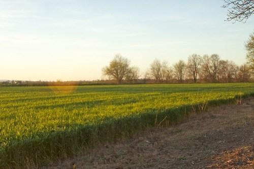 Winter Wheat north