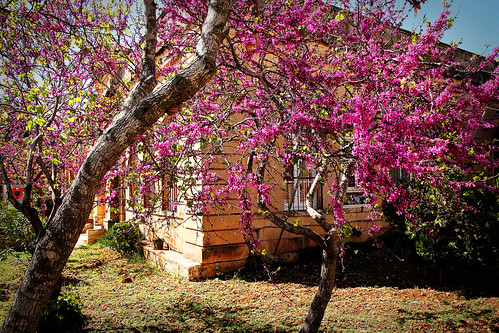 Flowering-trees-Mgarr