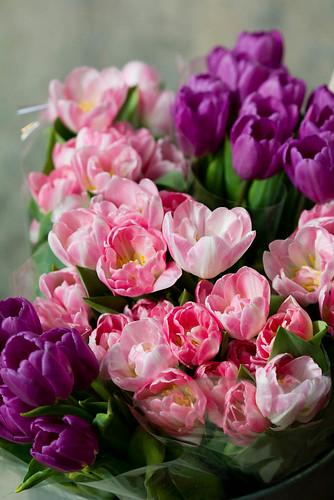 Rosa och lila tulpaner
