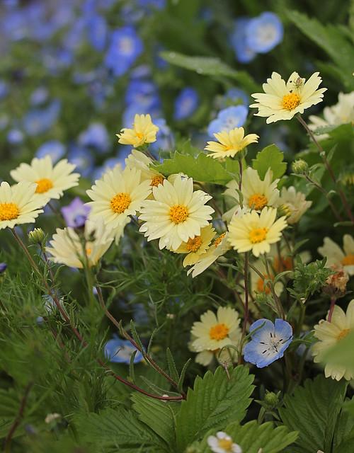layia_glandulosa_in_garden