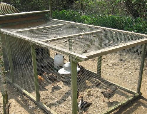chicks in their playpen