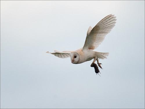 Barn Owl with captured prey_3