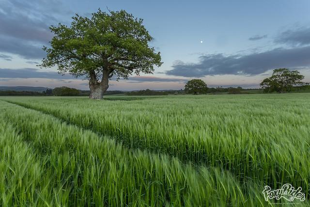 Blue Hour Barley