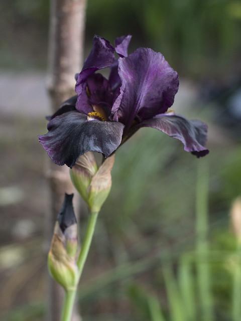 Iris 'Sinister Desires'