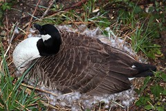 Canada Goose on nest