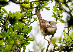 Whitethroat foraging