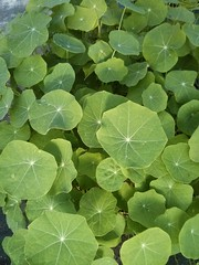 "Nastursium Leaves • <a style=""font-size:0.8em;"" href=""http://www.flickr.com/photos/61175668@N08/17236041335/"" target=""_blank"">View on Flickr</a>"