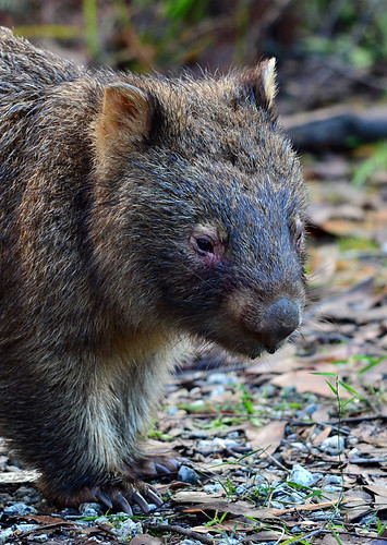 """Common Wombat - Bunyip State Park • <a style=""""font-size:0.8em;"""" href=""""http://www.flickr.com/photos/95790921@N07/8921824432/"""" target=""""_blank"""">View on Flickr</a>"""