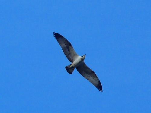 "Osprey, St Winnow, Fowey (R.Kirkwood) • <a style=""font-size:0.8em;"" href=""http://www.flickr.com/photos/30837261@N07/9787158331/"" target=""_blank"">View on Flickr</a>"