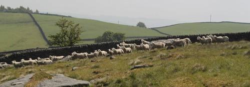 LLeyn shearling rams