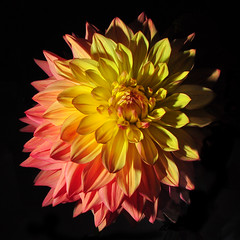 Pink and Yellow Dahlia at the Fair