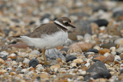 "Ringed Plover • <a style=""font-size:0.8em;"" href=""http://www.flickr.com/photos/30837261@N07/10723275136/"" target=""_blank"">View on Flickr</a>"