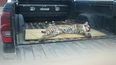 sleeping bobcat in back of Wally's pickup