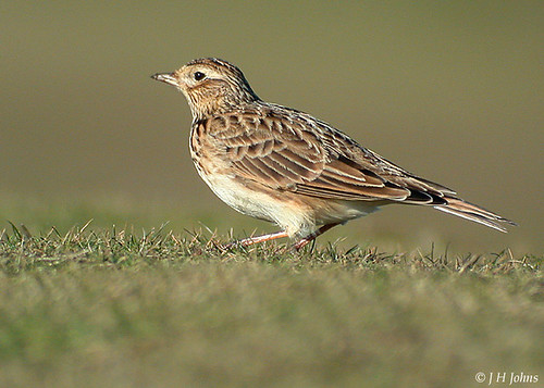 "Skylark (J H Johns) • <a style=""font-size:0.8em;"" href=""http://www.flickr.com/photos/30837261@N07/10723256473/"" target=""_blank"">View on Flickr</a>"