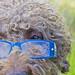 Hund med blå glasögon