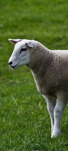 Lleyn lamb