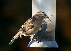 Long-billed sparrow!