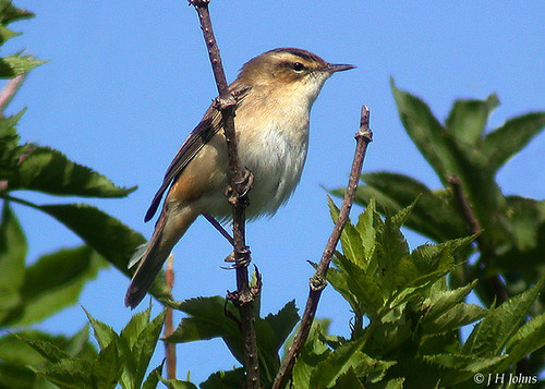 "Sedge Warbler (J H Johns) • <a style=""font-size:0.8em;"" href=""http://www.flickr.com/photos/30837261@N07/10723145296/"" target=""_blank"">View on Flickr</a>"