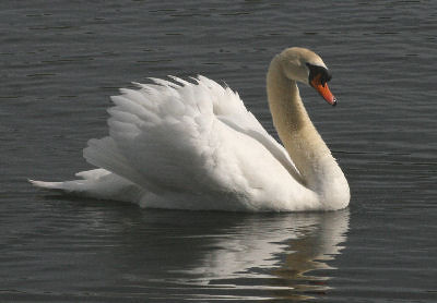 "Mute Swan • <a style=""font-size:0.8em;"" href=""http://www.flickr.com/photos/30837261@N07/10723183883/"" target=""_blank"">View on Flickr</a>"
