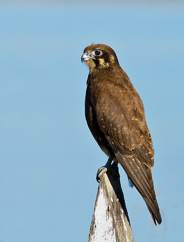"""Brown Falcon • <a style=""""font-size:0.8em;"""" href=""""http://www.flickr.com/photos/95790921@N07/9115772708/"""" target=""""_blank"""">View on Flickr</a>"""