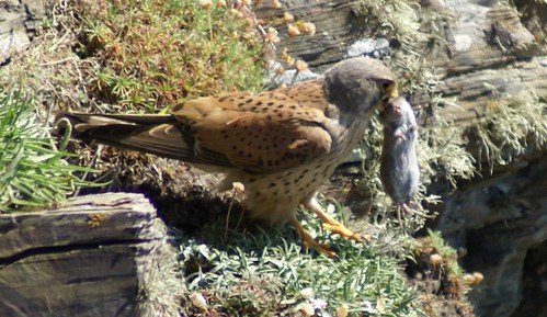 "Kestrel with prey, Trevose Head • <a style=""font-size:0.8em;"" href=""http://www.flickr.com/photos/30837261@N07/10722514344/"" target=""_blank"">View on Flickr</a>"