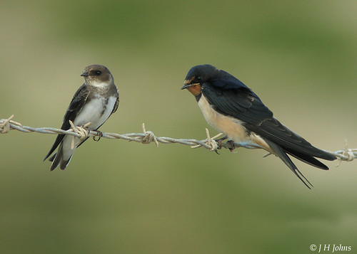 "Swallow and Sand Martin (J H Johns) • <a style=""font-size:0.8em;"" href=""http://www.flickr.com/photos/30837261@N07/10722967355/"" target=""_blank"">View on Flickr</a>"