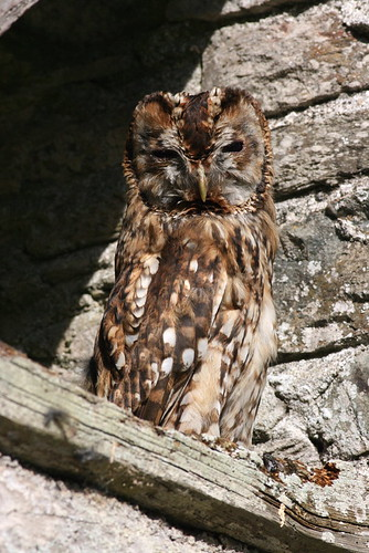 "Tawny Owl • <a style=""font-size:0.8em;"" href=""http://www.flickr.com/photos/30837261@N07/10723061646/"" target=""_blank"">View on Flickr</a>"