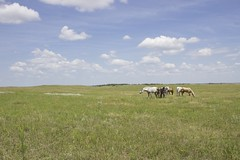 Horses in the Sandhills