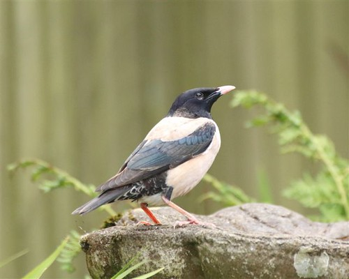 """Rose-Coloured Starling, Looe, 06.05.14 (J.Eames) • <a style=""""font-size:0.8em;"""" href=""""http://www.flickr.com/photos/30837261@N07/14380756655/"""" target=""""_blank"""">View on Flickr</a>"""