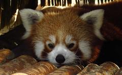 116 - 2016 10 30 - Rode panda vanop de nieuwe 'Skywalk'