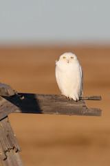 Snowy Owl | fjälluggla | Bubo scandiacus