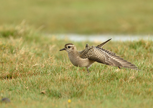 """American Golden Plover, Davidstow, 19.10.14 (S.Rogers) • <a style=""""font-size:0.8em;"""" href=""""http://www.flickr.com/photos/30837261@N07/15413538280/"""" target=""""_blank"""">View on Flickr</a>"""