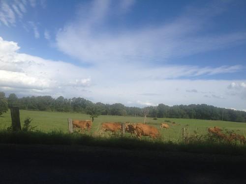 Sur le bord de la route : des vaches limousines !