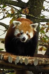 101 - 2016 10 30 - Rode panda vanaf de nieuwe 'Skywalk'