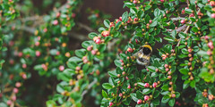 A bee busks on a cloudy day