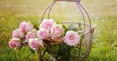 """Die Rose. Die Rosen. Schöne rosa Rosen in einem Drahtkorb. • <a style=""""font-size:0.8em;"""" href=""""http://www.flickr.com/photos/42554185@N00/30555914952/"""" target=""""_blank"""">View on Flickr</a>"""
