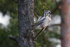 Northern Hawk-Owl | hökuggla | Surnia ulula