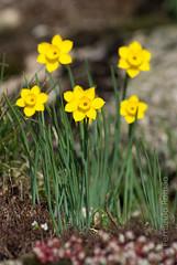 Daffodill (Narcissus rupicola)