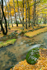 Birch forest with river at Estrela Mountain