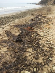 Oiled wrack line Summerland 08-22-15h