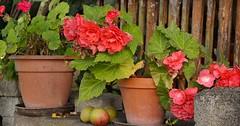 """Der Blumentopf. Die Blumentöpfe. In diesen Blumentöpfen sind Begonien, eine beliebte Blumensorte. • <a style=""""font-size:0.8em;"""" href=""""http://www.flickr.com/photos/42554185@N00/31304323475/"""" target=""""_blank"""">View on Flickr</a>"""