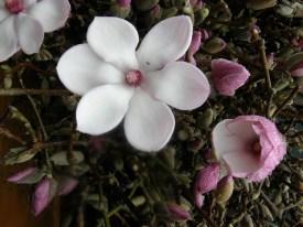 tulip magnolia