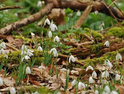 Snowdrops Greyfriars Dunwich 220211 7346