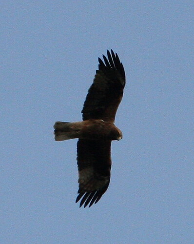 Booted Eagle Dark Morph